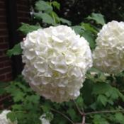 Location: In my mom's garden, Falls Church, VADate: 2018-05-05Finally blooming again after 6-8 years!