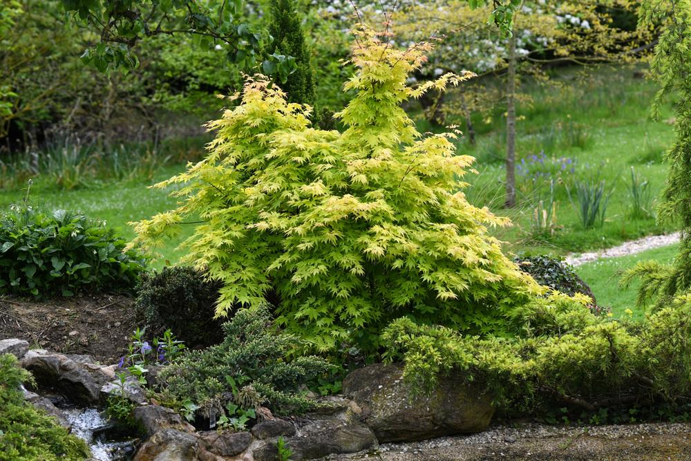 Photo Of The Entire Plant Of Japanese Maple Acer Palmatum Orange