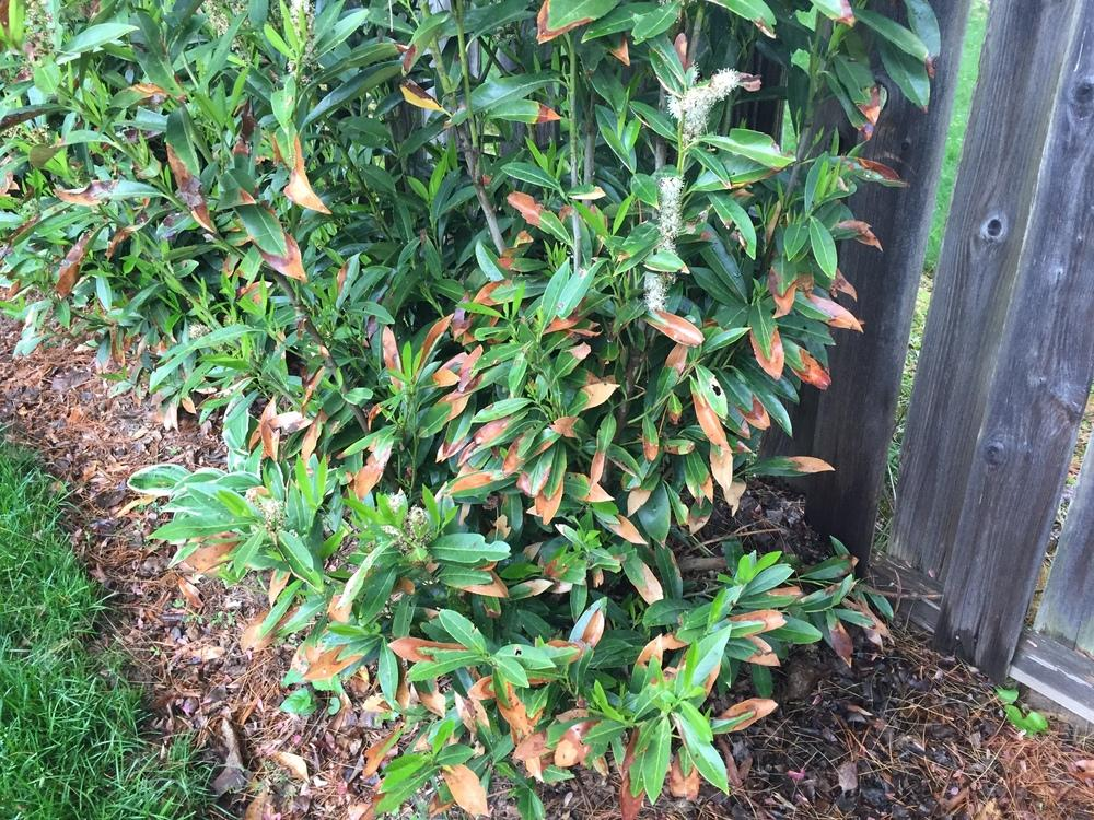 Ask A Question Forum What S Ailing My Cherry Laurels Garden Org