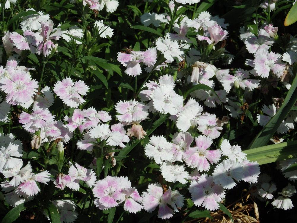 Photo of Dianthus uploaded by pdermer1x