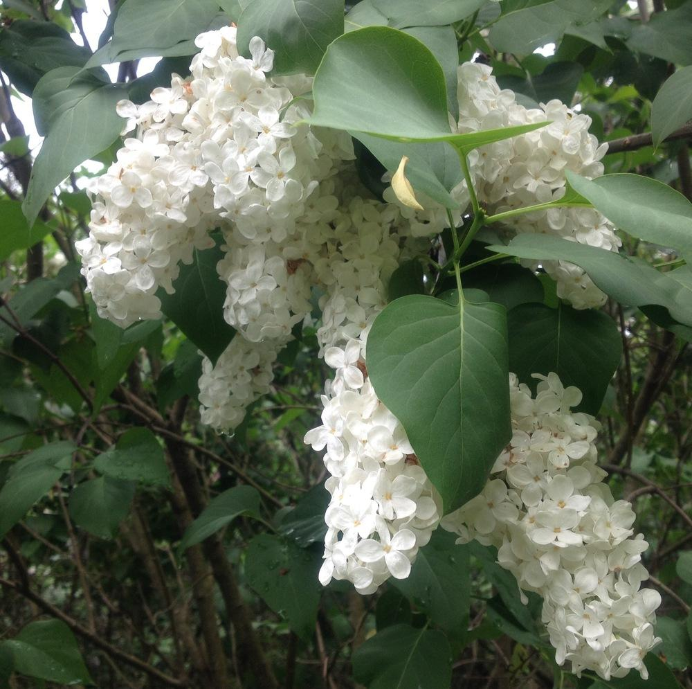 Photo of Common Lilac (Syringa vulgaris 'Marie Finon') uploaded by csandt