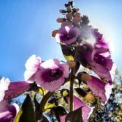 Location: Southeastern NCDate: 2005-01-01Foxglove (Digitalis purpurea)