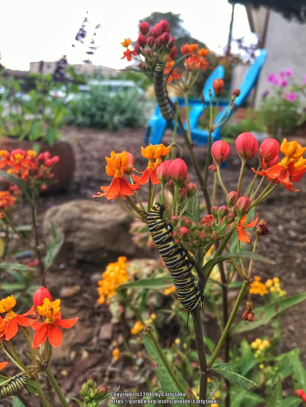 Milkweeds: Plant Care and Collection of Varieties - Garden.org