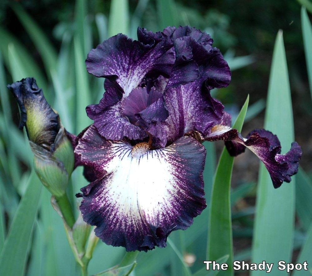 Photo of Tall Bearded Iris (Iris 'Select Circle') uploaded by lovemyhouse