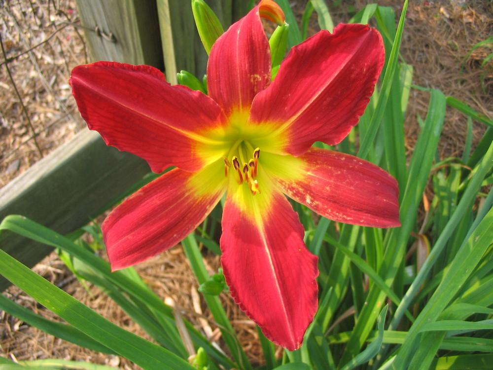 Photo of Daylily (Hemerocallis 'Admiral Nelson') uploaded by 2Dogsmother