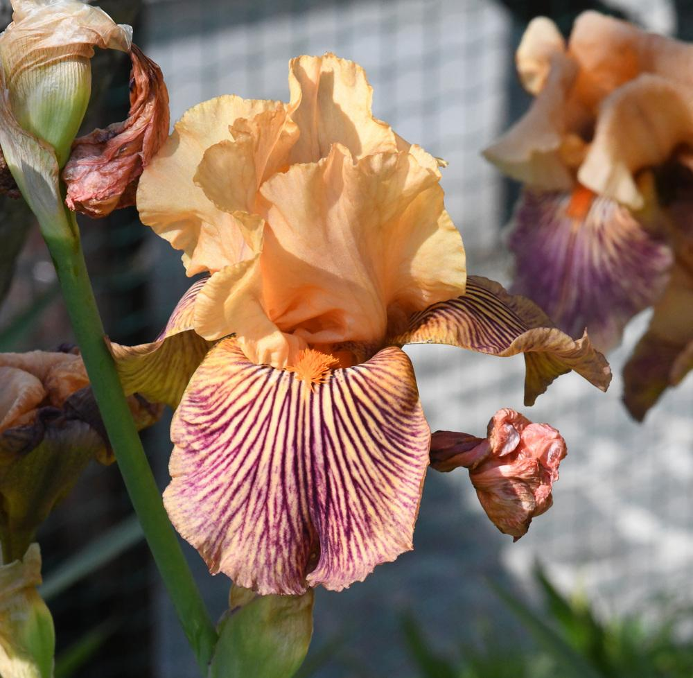 Photo of Tall Bearded Iris (Iris 'Teasing Tiger') uploaded by cliftoncat