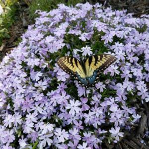 Swallowtail really loved the blooms