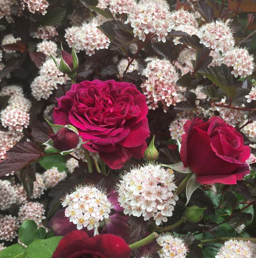 Photo of Rose (Rosa 'Tradescant') uploaded by Calif_Sue