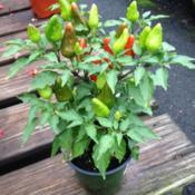 Location: In Meadows Farms Nursery, Falls Church, VADate: 2017-08-15Considered a hot pepper vs Ornamental