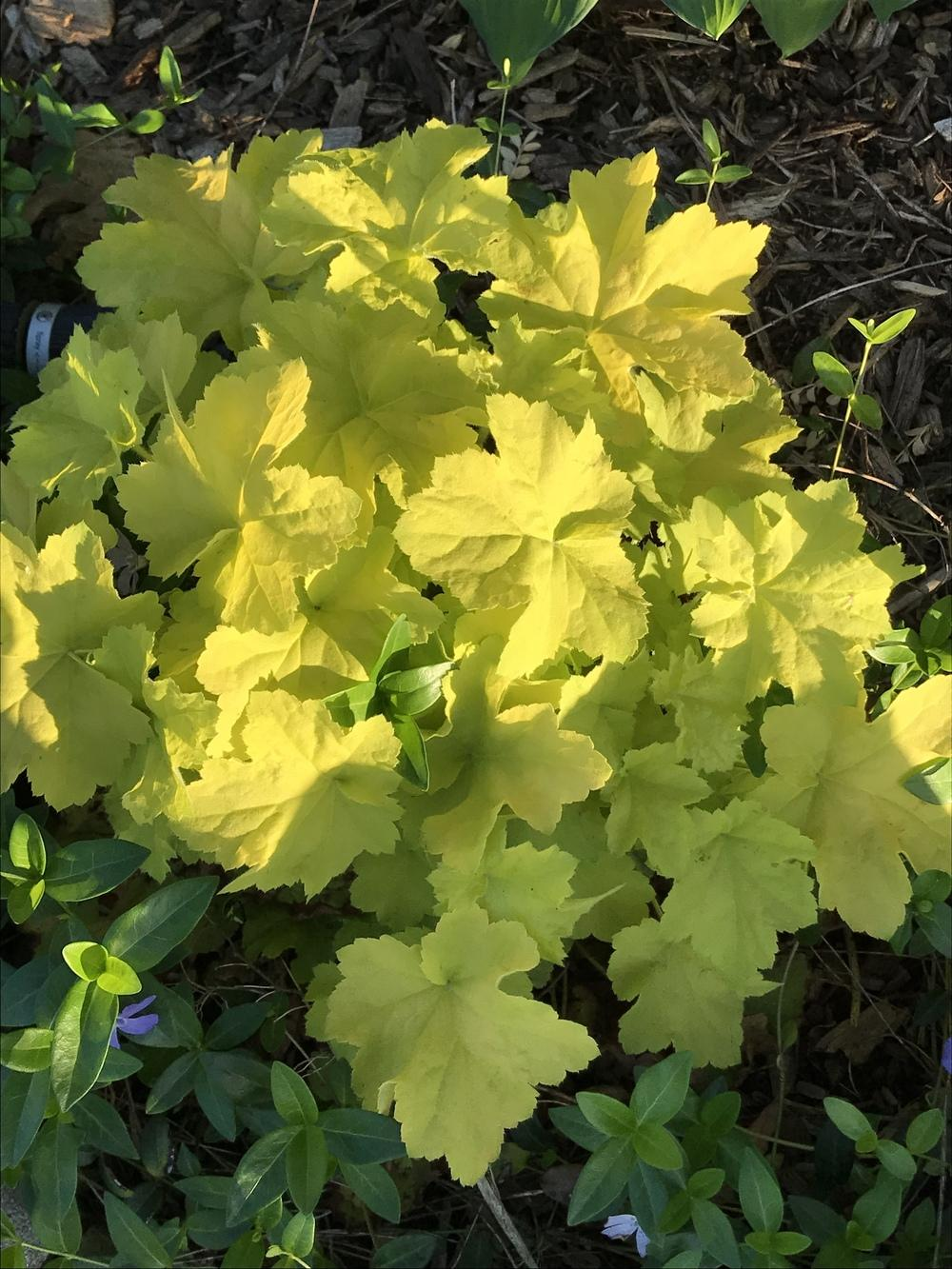Photo of Coral Bells (Heuchera villosa 'Citronelle') uploaded by Legalily