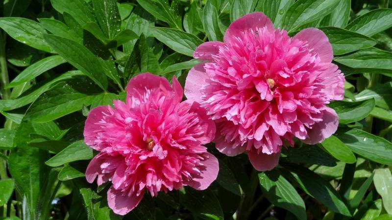 Photo of Peony (Paeonia officinalis 'Rosea Plena') uploaded by Orsola