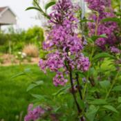 "Location: Clinton, Michigan 49236Date: 2018-05-17""Syringa x chinensis, 2018 photo, Chinese Lilac, , USDA"