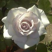 Location: Texas, USADate: taken in the late spring several years agoI owned this rose several years ago but lost it due to