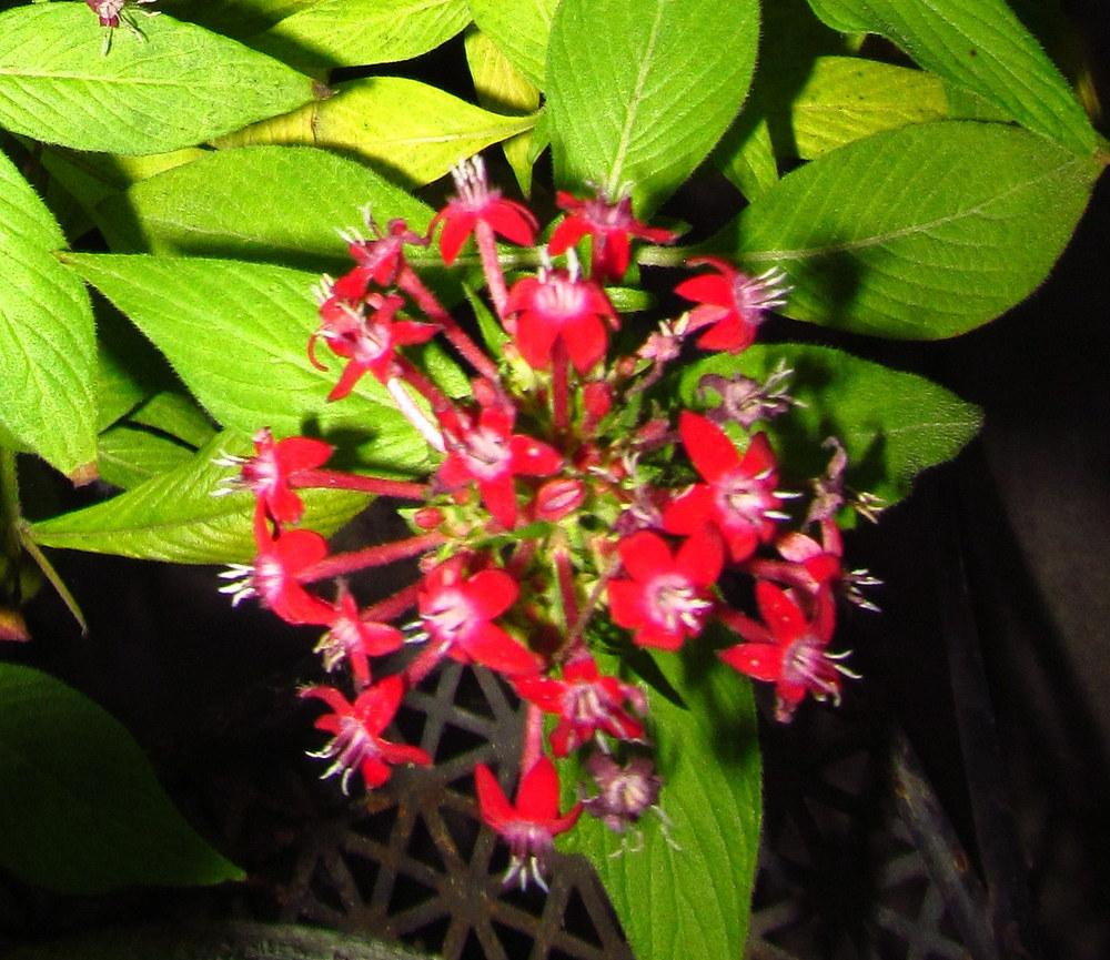 Photo of Star Flower (Pentas lanceolata) uploaded by Deby