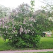 Location: Downingtown, PennsylvaniaDate: 2018-05-12full-grown shrub in bloom