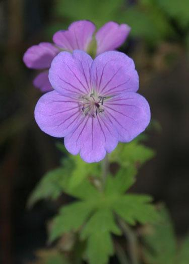 Photo of Hardy Geranium (Geranium Blue Sunrise) uploaded by Lyshack