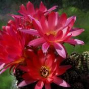 Location: From my collection. Poland.Date: 2018-05-19Echinopsis chamaecereus cv. Rainbow