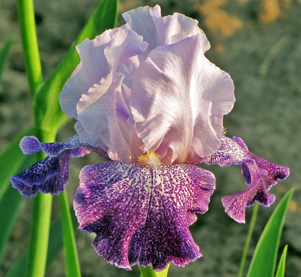 Photo of Tall Bearded Iris (Iris 'Splashacata') uploaded by TBGDN