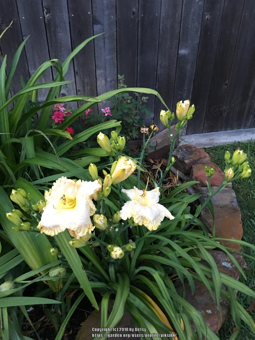 Photo of Daylily (Hemerocallis 'Boundless Beauty') uploaded by piksihk