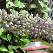 Location: Winter Springs, FL zone 9bDate: 2018-05-17Flower has turned to purplish-white berries