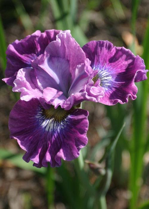 Photo of Siberian Iris (Iris 'Strawberry Fair') uploaded by Lyshack
