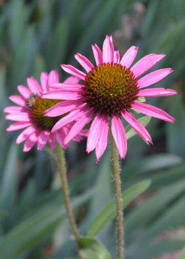 Photo of Coneflower (Echinacea Pixie Meadowbrite) uploaded by Lyshack
