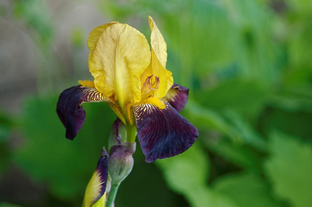 Photo of Tall Bearded Iris (Iris 'Black and Gold') uploaded by dirtdorphins
