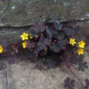 Location: southern englandDate: 2018-05-21growing from cracks in paving stones