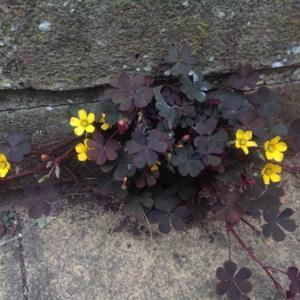growing from cracks in paving stones