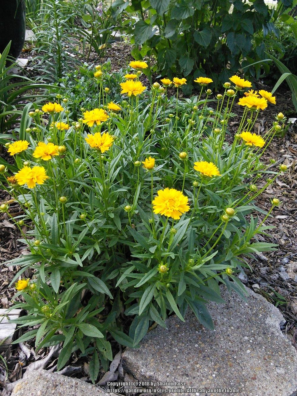 Photo of Bigflower Coreopsis (Coreopsis grandiflora 'Early Sunrise') uploaded by Altheabyanothername