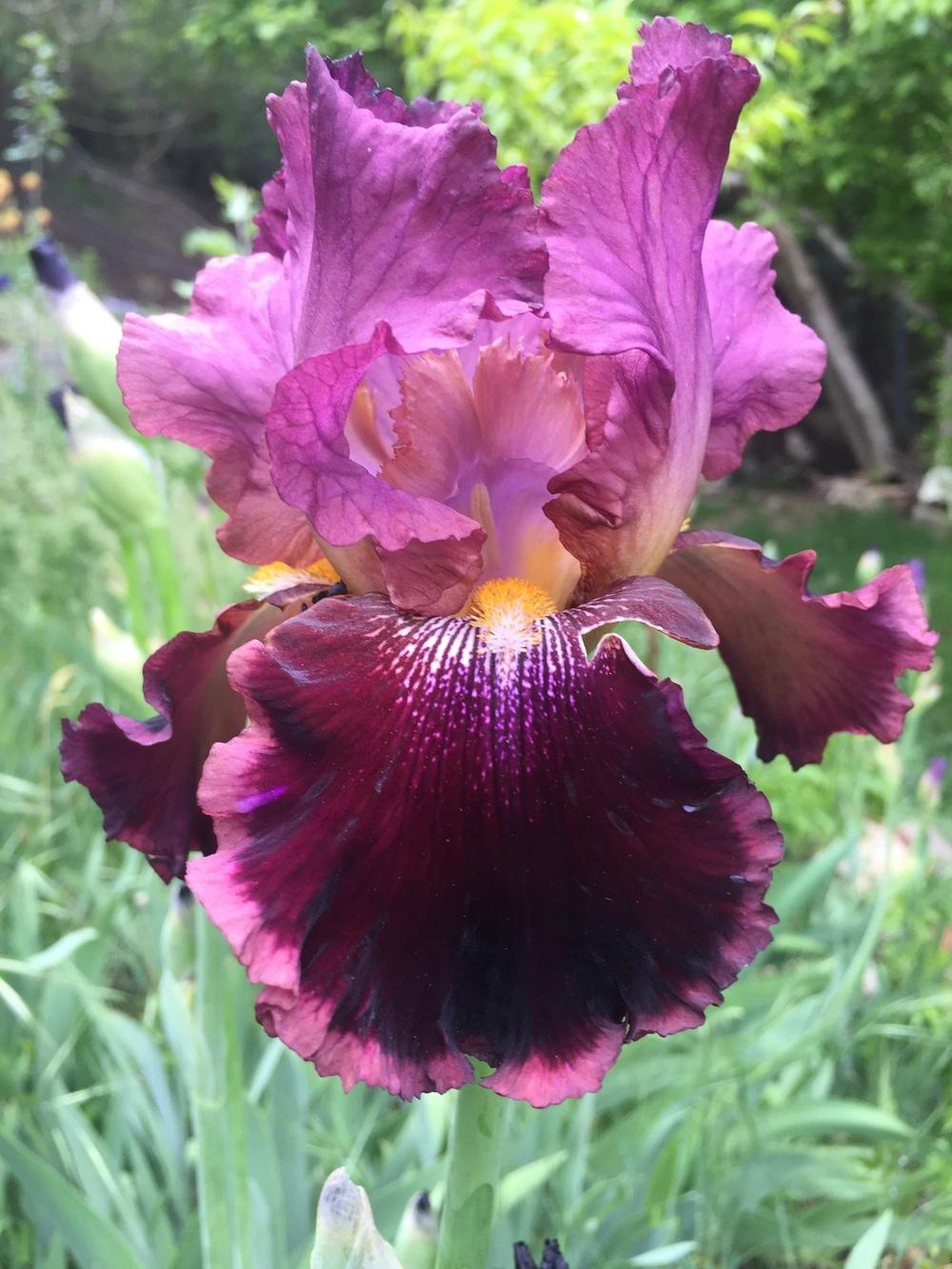 Photo of Tall Bearded Iris (Iris 'Spin-Off') uploaded by SpringGreenThumb