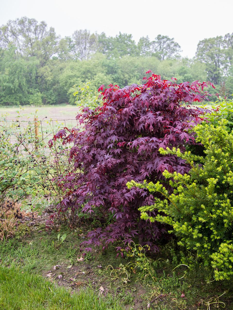 Photo of Japanese Maple (Acer palmatum var. amoenum 'Bloodgood') uploaded by frankrichards16