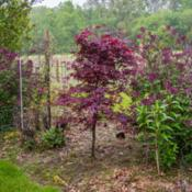 "Location: Clinton, Michigan 49236Date: 2018-05-22""Acer palmatum 'Wolff', 2018 photo, EMPEROR I™Japanes"