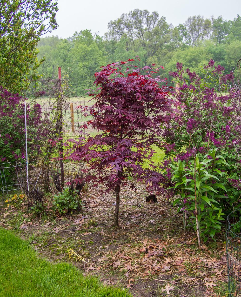 Photo Of The Entire Plant Of Japanese Maple Acer Palmatum Var