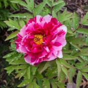 "Location: Clinton, Michigan 49236Date: 2018-05-22""Paeonia suffruticosa 'Shima-Nishiki', 2018 photo, (2-D"