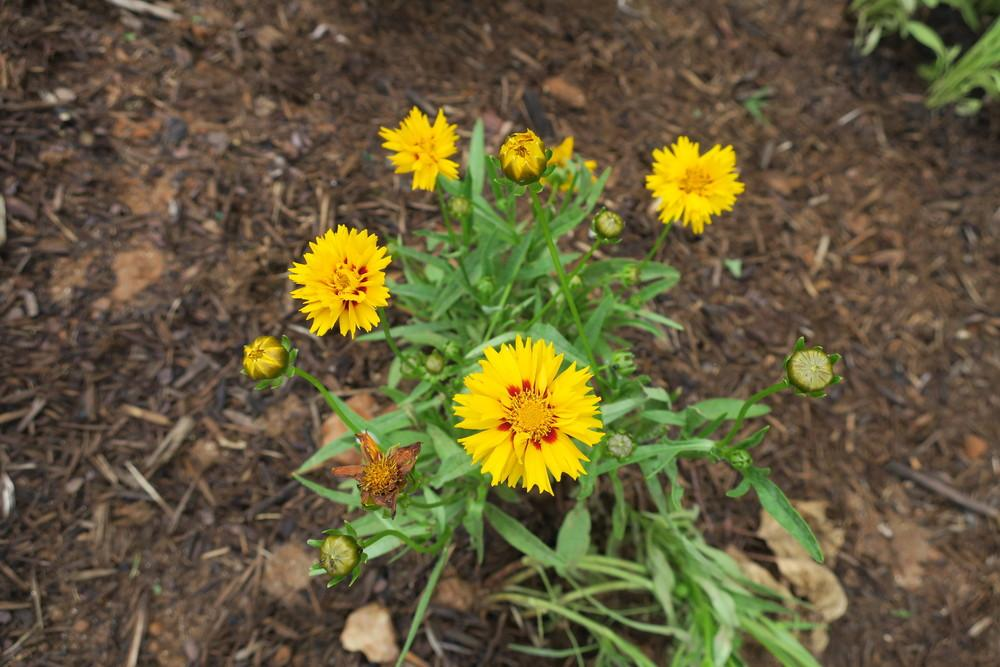 Photo of Tickseed Coreopsis (Coreopsis grandiflora 'Sunfire') uploaded by 2Dogsmother