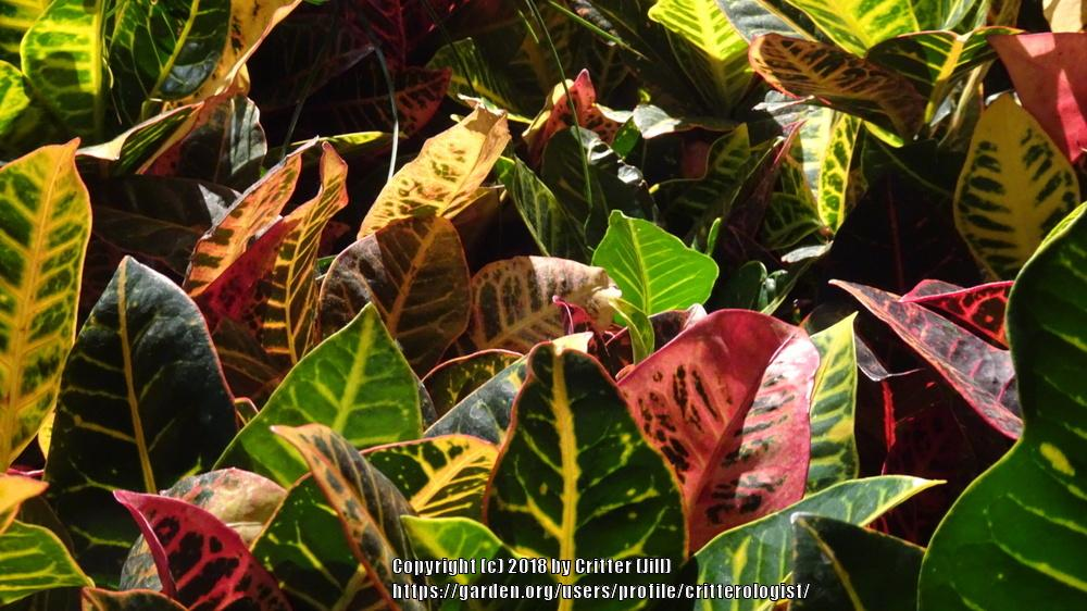 Photo of Crotons (Codiaeum) uploaded by critterologist