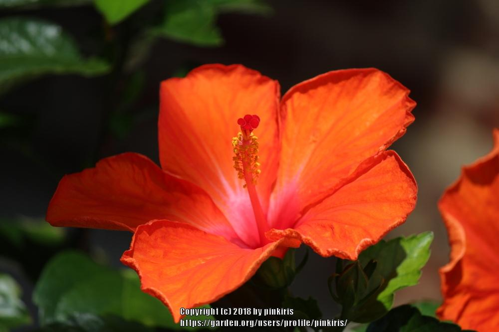 Photo of Tropical Hibiscuses (Hibiscus rosa-sinensis) uploaded by pinkiris