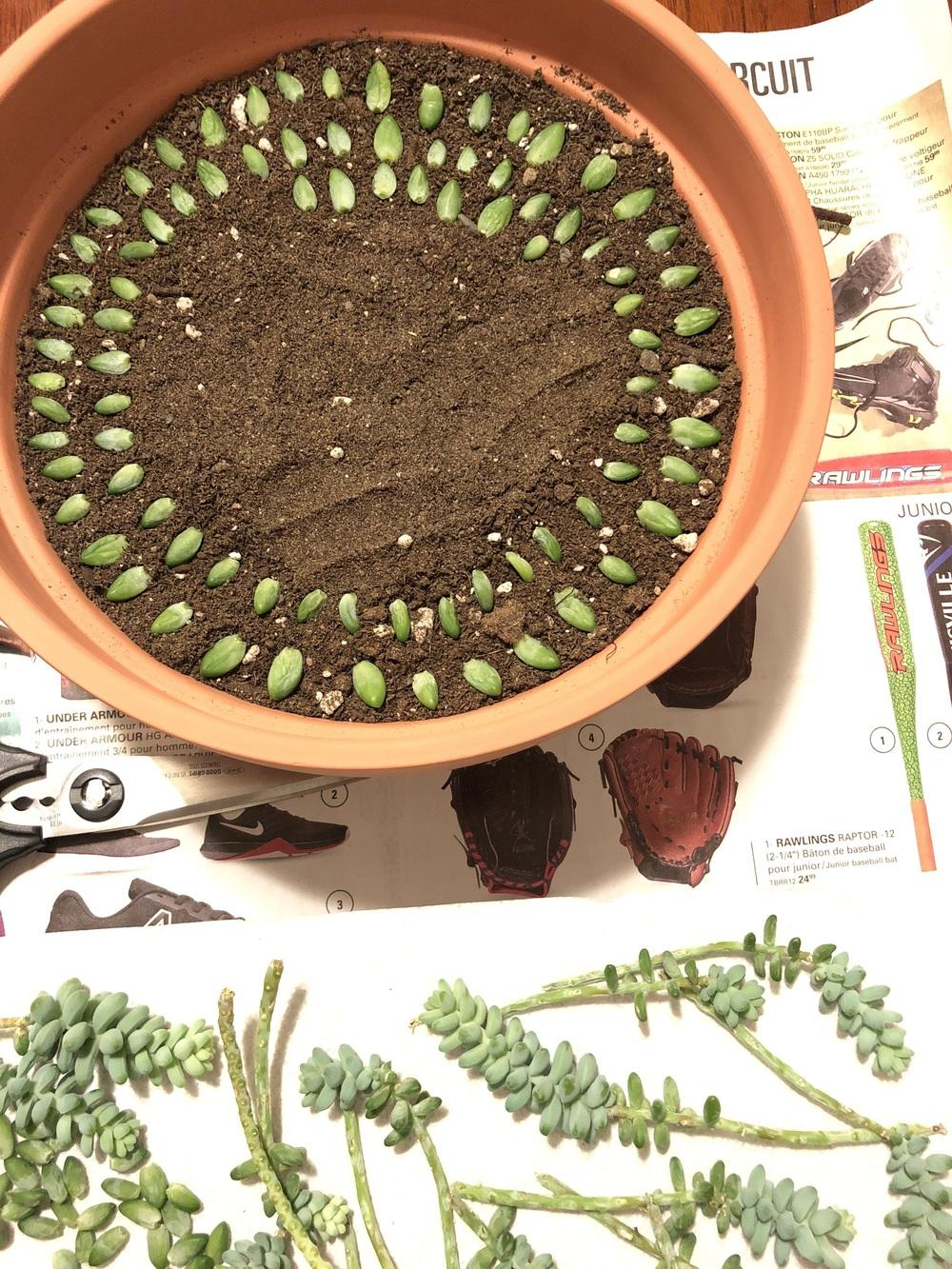 Ask A Question Forum Propagating Burro S Tail Succulent Garden Org