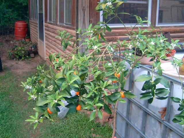 Photo of Kumquat (Citrus japonica) uploaded by pod