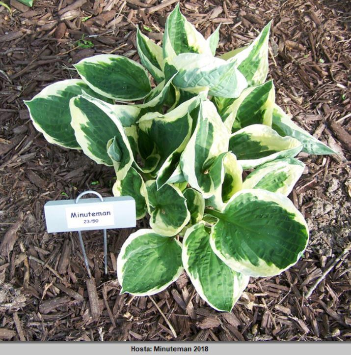 Photo Of The Entire Plant Of Hosta Minuteman Posted By Petruske