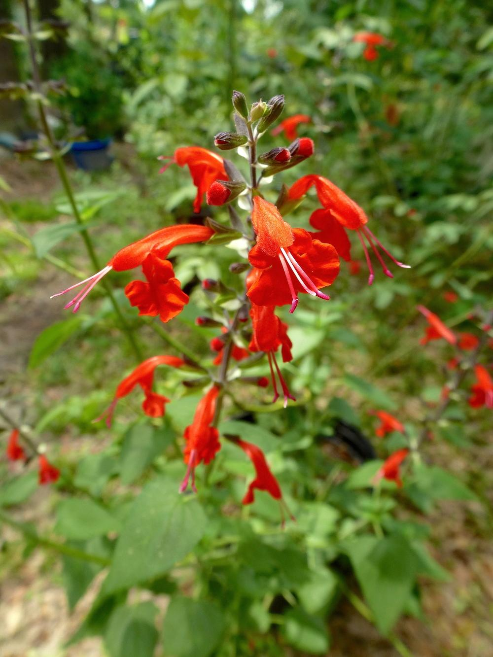 Photo of Scarlet Sage (Salvia coccinea) uploaded by scvirginia
