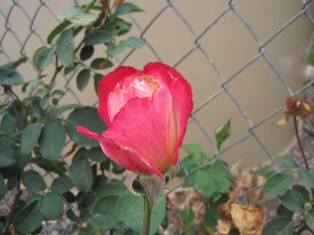 Photo of Rose (Rosa 'Double Delight') uploaded by shalyn