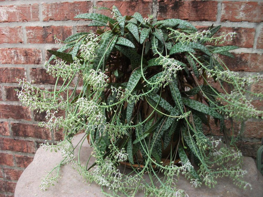Photo Of The Entire Plant Of Silver Squill Ledebouria
