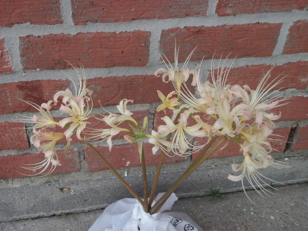 Photo of White Spider Lily (Lycoris x albiflora) uploaded by tabbycat