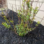 Date: 2018-03-28March foliage emerging green, 2nd year planting