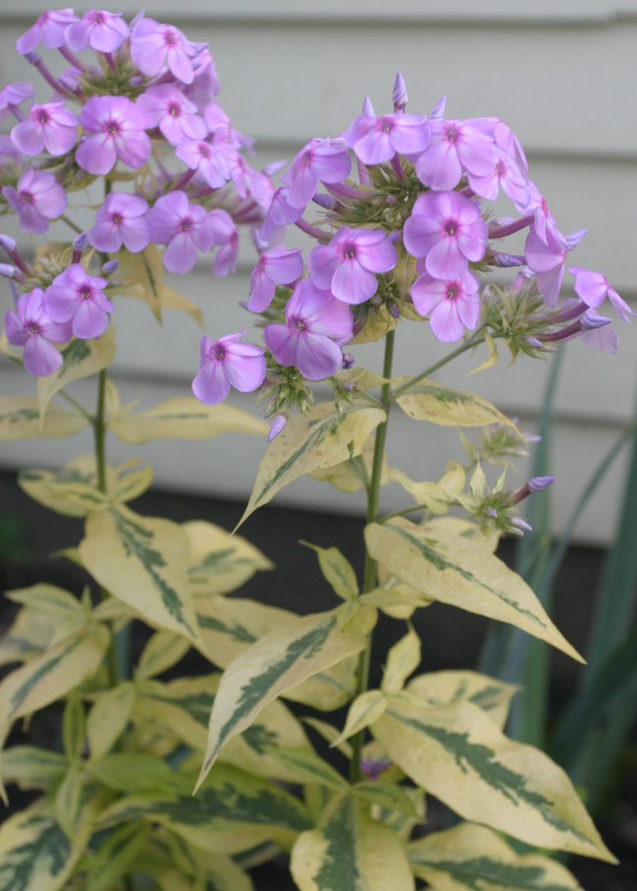 Photo of Tall Garden Phlox (Phlox paniculata 'Shockwave') uploaded by Lyshack