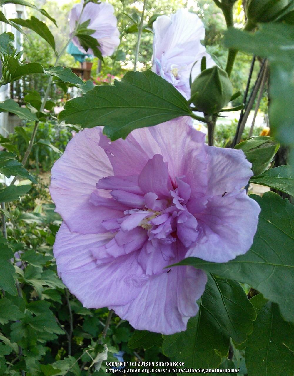 Photo Of The Bloom Of Rose Of Sharon Hibiscus Syriacus Lavender