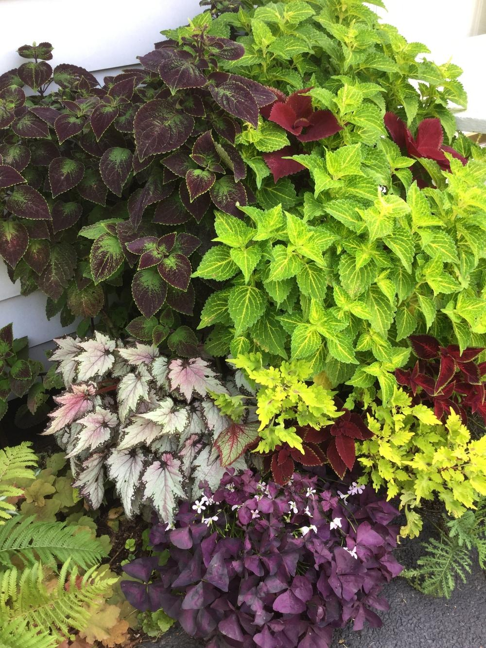 The Coleus Plant Is It A Annual Or Perennial