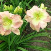 Photo courtesy of Ashwood Garden Daylilies. Used with permission.